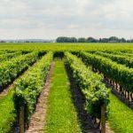Cuidados de las viñas en la Rioja Alavesa
