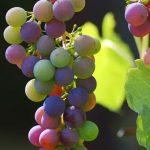 Cómo saber si tu uva es de calidad