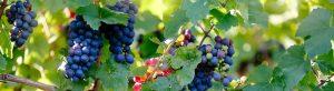 Tiempo madurez vino
