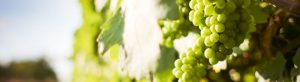 variedad vino viura